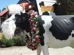 P1012945 1219 (sophbax22) Tags: phillip island cowes victoria australia grumpys cow christmas