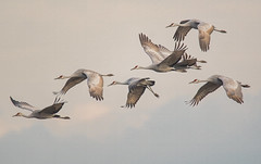 Sandhill Cranes (Rusty Turnbuckle) Tags: sandhillcranes birdmigration bird birds flight