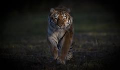 Bright Eyes (Jonnyfez) Tags: tschuna yorkshire wildlife park jonnyfez amur siberian tiger big cat predator straight eyes contact eye d850
