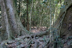 Small leaf fig (Ficus obliqua) on right (Poytr) Tags: arfp nswrfp qrfp milton nsw australia rainforest subtropicalarf ulladulla yatteyattahnaturereserve yatteyattah subtropicalrainforest moraceae ficusobliqua ficus citronellamoorei citronella churnwood cardiopteridaceae