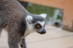 500_0477 (jinkemoole) Tags: kobedobutsuokoku zoo animal ワオキツネザル ringtailedlemur