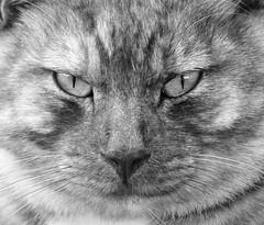 Fritz (Erich Schieber) Tags: australia animal cat blackandwhite