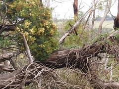 P1012903 1219 (sophbax22) Tags: phillip island victoria australia oswin roberts reserve