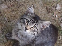 Lulu (kfwckcda23) Tags: cat kitten pet animal gray tabby