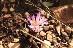 Безвременник Стевена (Colchicum stevenii) (unicorn7unicorn) Tags: горы нагария маршрут монфор безвременникстевена colchicumstevenii 30 colorfulnature