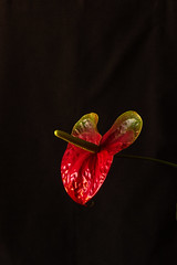 Red on Black (armct) Tags: anthurium flower bloom blackbackground indoor flash low dim light plant red green dark night cultivar cv domestic