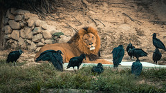 King (villadacrus) Tags: lion zoo mood nature wild
