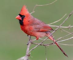 The Cardinal (tresed47) Tags: 2019 201912dec 20191205homebirds birds canon7dmkii cardinal chestercounty content december fall folder pennsylvania peterscamera petersphotos places season takenby us