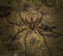 Tamopsis brachycauda (dustaway) Tags: rprr rotaryparkrainforestreserve lismore northernrivers nsw nature australia australianwildlife arthropoda arachnida araneae araneomorphae hersiliidae tamopsisbrachycauda australianspiders