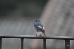 Visite de courtoisie (EmArt baudry) Tags: oiseau bird rougequeue redstart nikon nature emart emmanuellebaudry gard occitanie