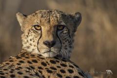 Eye Contact (PamsWildImages) Tags: cheetah bigcat canon south africa nature naturephotographer wildlife wildlifephotographer