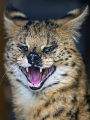 Serval kind of smiling (Tambako the Jaguar) Tags: serval big wild cat close portrait face angry unfriendly pissedof openmouth funny smiling olomouc zoo czechrepublic nikon d5