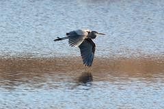 Flying Across the Pond (judymtomlinson) Tags: bird birdwatching birdphotography birdphotographer birdsofontario wildlifephotography wildlifephotographer wildlife nikonphotography nikond7500 greatblueheron saunderspond