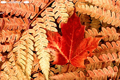 Maple Leaf and Ferns (freshairphoto) Tags: maple leaf fern autumn red brown organge macro beaver lake nature center baldwinsville ny artspearing