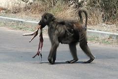 2019-102516 (bubbahop) Tags: 2019 africatrip southafrica part3 gadventures safari kruger national park animal baboon steenbok