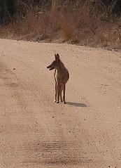 2019-102512 (bubbahop) Tags: 2019 africatrip southafrica part3 gadventures safari kruger national park animal jackal