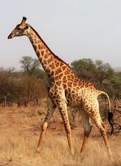 2019-102509 (bubbahop) Tags: 2019 africatrip southafrica part3 gadventures safari kruger national park animal giraffe