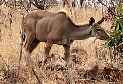 2019-102504 (bubbahop) Tags: 2019 africatrip southafrica part3 gadventures safari kruger national park kudu animal