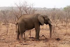 2019-102503 (bubbahop) Tags: 2019 africatrip southafrica part3 gadventures safari kruger national park animal elephant