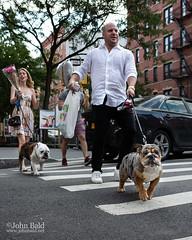 Two Bulldogs, NYC  (00268) (John Bald) Tags: manhattan newyorkcity soho bulldog crosswalk daytime dog dogonleash dogowner exterior hot sidewalk street summer twodogs urban