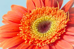Orange Gerbera (Diane Meade-Tibbetts) Tags: autumn daisy fall flora floral flower gerberadaisy nature orange