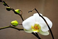 Orquídea AnivMarcia19_7rt (João Batista**) Tags: orchid orquídea flor flower natureza nature jardim garden