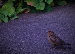 EVENING VISITOR (coral140) Tags: garden evening baby sparrow