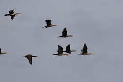 Flock of Cormorants in flight (Daniel Hemingsen) Tags: birds cormorant flight