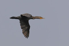Cormorant in flight (Daniel Hemingsen) Tags: birds cormorant flight