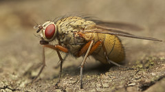 Zzzzt! (JWB Creative Life) Tags: fly macro laowa ultra 100mm apo ca dreamer insect detail