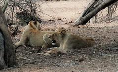 2019-102517 (bubbahop) Tags: 2019 africatrip southafrica part3 gadventures safari kruger national park animal lions