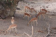 2019-102506 (bubbahop) Tags: 2019 africatrip southafrica part3 gadventures safari kruger national park animal impala