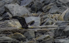 Holding my fish (mbfirefly) Tags: conowingo conowingodam maryland baldeagle birding birds eagles