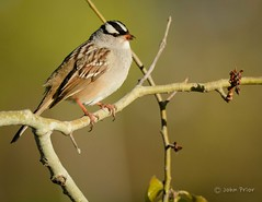 White-crowned Sparrow (John Prior 55) Tags: sparrows birds whitecrownedsparrow spring burlington ontario