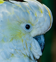 Cockatoo (topendsteve) Tags: bird parrot jungle gardens feathers plumage color a7r4 24105