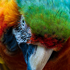 Angry Macaw (topendsteve) Tags: bird parrot jungle gardens feathers plumage color a7r4 24105