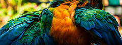 Feathers. (topendsteve) Tags: bird parrot jungle gardens feathers plumage color a7r4 24105