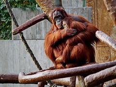 Mutterliebe (Rolf Piepenbring) Tags: orangutan zookrefeld zoo mutter mutterliebe motherslove pongo orangoetan