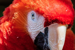 Macaw (topendsteve) Tags: macaw bird scarlet red parrot beak eye feathers