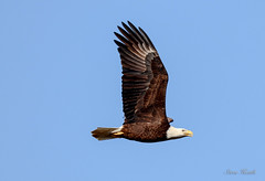 Bald Eagles of Hico (rsheath76) Tags: baldeagle eagles birds birding raptors texas hico flight majestic