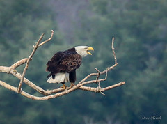 bald Eagle - calling the mate. (rsheath76) Tags: baldeagle eagles birds birding raptors texas hico flight majestic