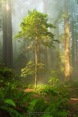 Solitary Dream (Bob Bowman Photography) Tags: tree fog mist redwoods california ferns light green plants nikon northerncalifornia coastalredwoods