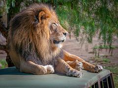 Chillin' on His SUV (helenehoffman) Tags: pantheraleo lion conservationstatusvulnerable felidae sandiegozoosafaripark bigcat mammal cat lioncamp africa carnivore izu animal