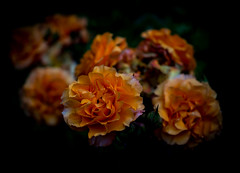 low key on fire (marinachi) Tags: lookingcloseonfriday lowkey orange flowers rose