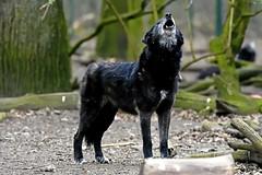 Timberwolf (Michael Döring) Tags: gelsenkirchen bismarck zoomerlebniswelt zoo timberwolf afs200500mm56e d7200 michaeldöring