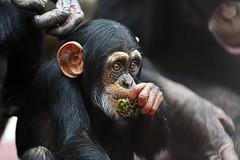 Schimpanse (Michael Döring) Tags: gelsenkirchen bismarck zoomerlebniswel zoo schimpanse chimpanzee kojo afs200mm20gvrii d850 michaeldöring