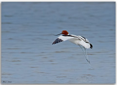 Red-necked Avocet taking flight (Bear Dale) Tags: rednecked avocet taking flight scientific name recurvirostra novaehollandiae ulladulla southcoast new south wales shoalhaven australia beardale lakeconjola fotoworx milton nsw nikond850 photography framed nature nikon bear d850 naturephotography naturaleza bird water estuary wading wader saltwater