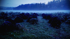 kale night garden (sugarelf) Tags: pacificnorthwest nature fog kale garden december farmland