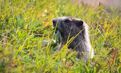 Salad (TW Olympia) Tags: marmot the cascade pass sahale arm trail north cascades