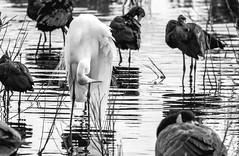 The local SPA (xrayman.dd) Tags: egret ibis marshbirds